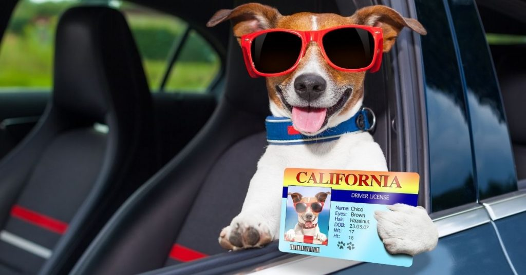 Image of a little dog in a car with his little driver's license and sunglasses on.
